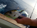 65 ft. Donzi Convertible Offshore Sport Fishing Boat Rental West Palm Beach  Image 2
