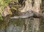 21 ft. Alligator Airboat 21 Airboat Boat Rental Miami Image 5