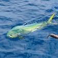 52 ft. Sportfishing 52' Offshore Sport Fishing Boat Rental Jacksonville Image 13